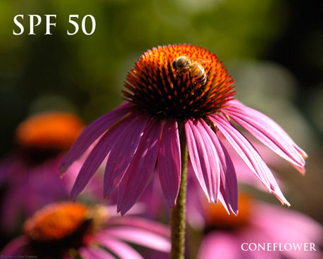 Coneflower, also known as Echinacea, can be used in rosacea treatment in the form of an antioxidant and anti-inflammatory rosacea sunscreen.
